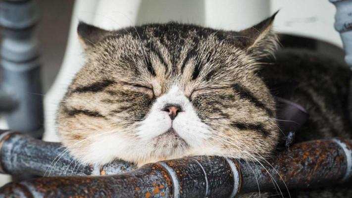 ぽっちゃり猫好き悶絶! 超キュンとくる【デブ猫】画像14選